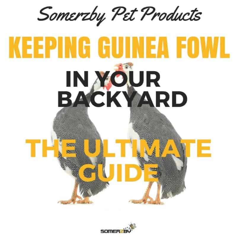 Keeping Guinea Fowl - The Ultimate Guide For The Australian Backyard