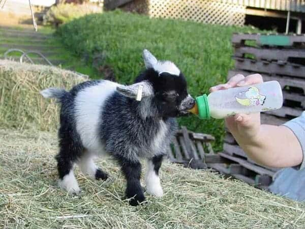 Ultimate Guide to Keeping Pygmy Goats as Pets