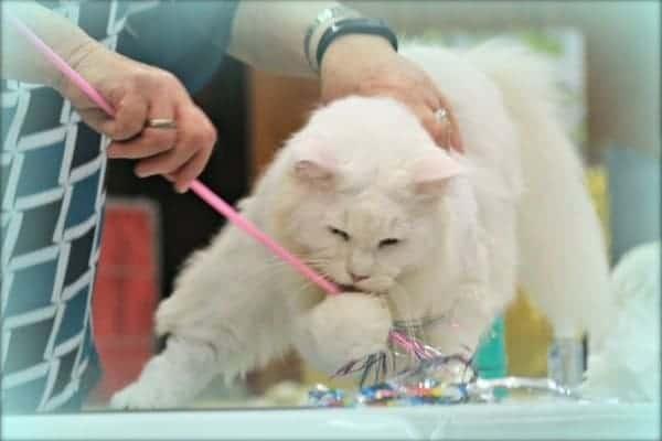 Main Coon Cat Breeder Show Cats