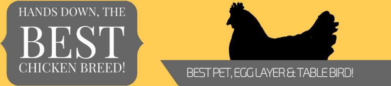 best chicken breed eggs meat table pet