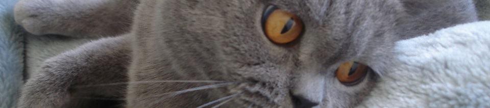 British Shorthairs - Breeder Spotlight