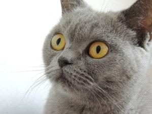 cat kitten gray