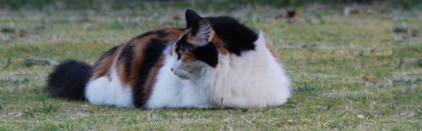 cuddleton british shorthairs