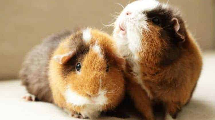 do not try and force the guinea pigs together