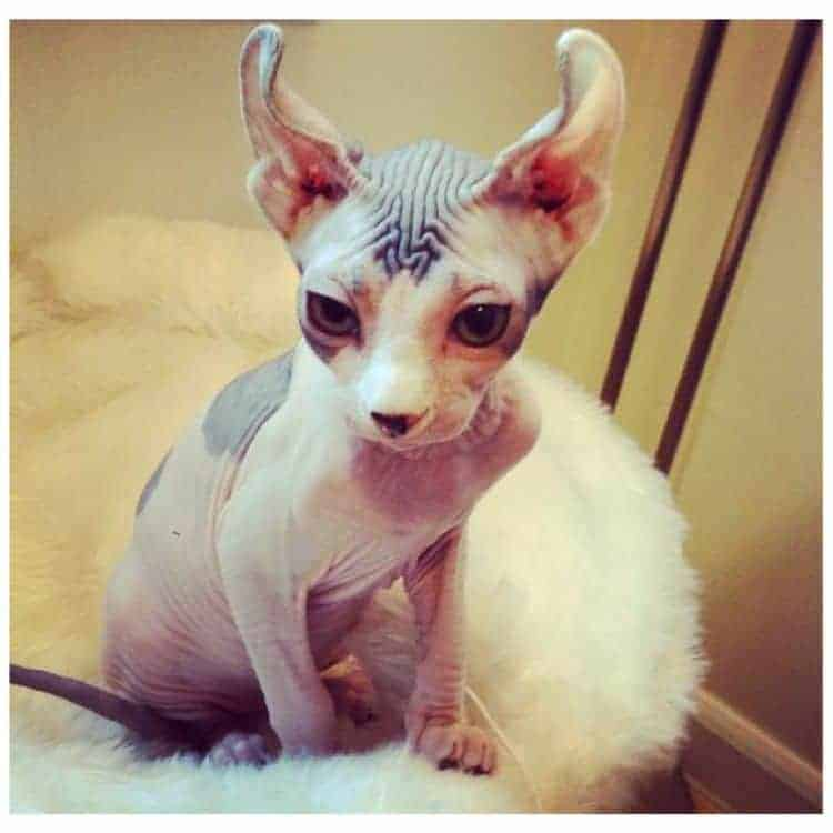 Hairless Cats The Ultimate Guide Of Hairless Cat Breeds