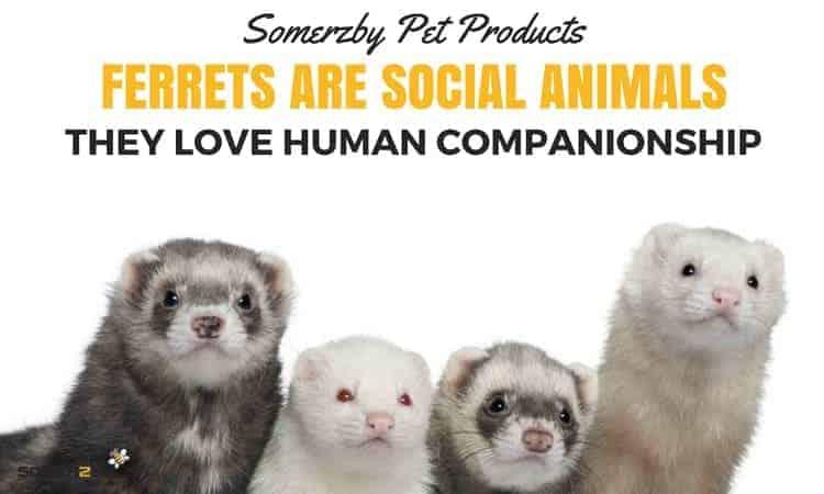Ferrets are social animals and love human companionship