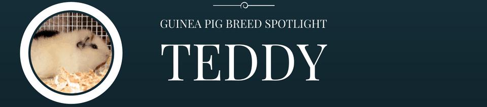guinea pig breed spotlight