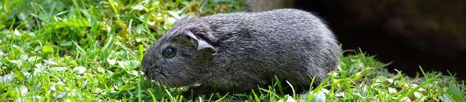 guinea pig header