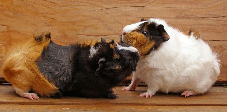 If you think bullying or aggression is occurring separate the guinea pigs