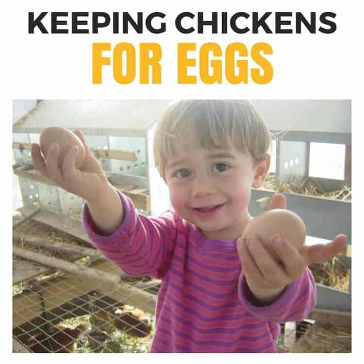 Keeping chickens for eggs