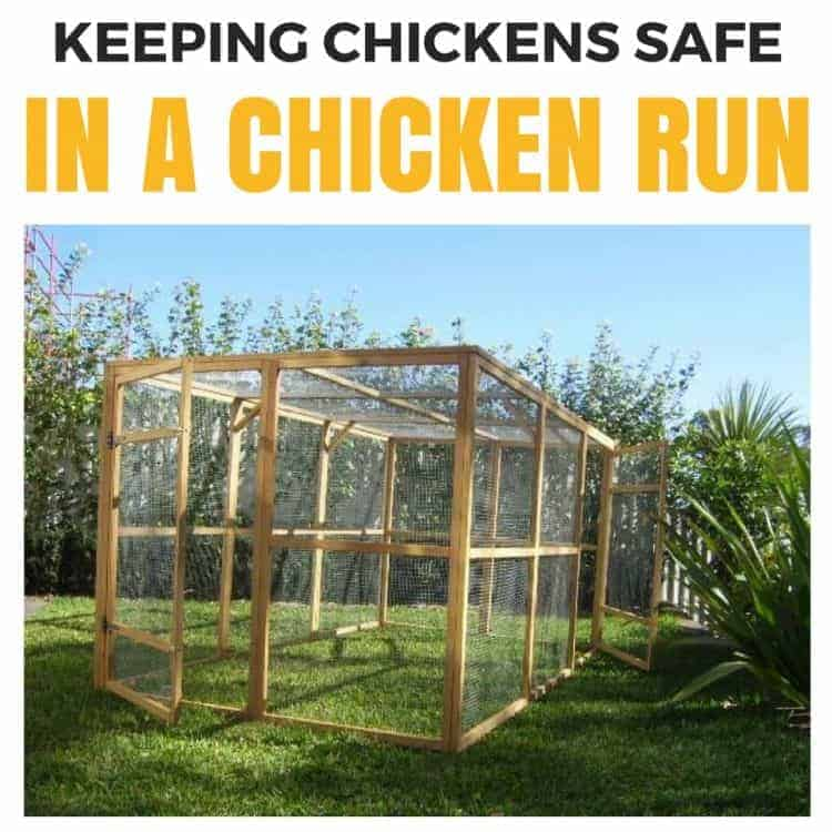 Keeping chickens safe in a chicken run