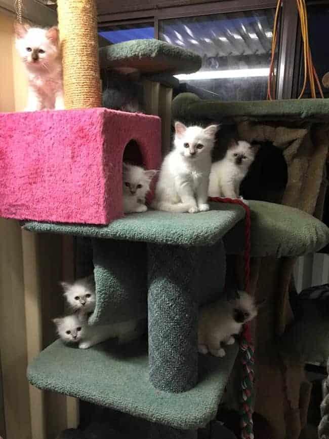 Birman Kittens For Sale Nj Furkidz Birman ...