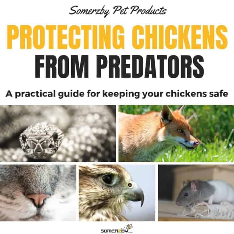Protecting Chickens from predators - A practical guide for keeping your chickens safe