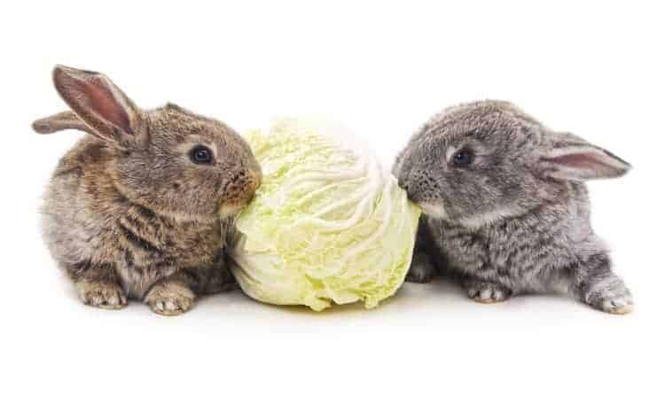 Rabbits eating lettuce