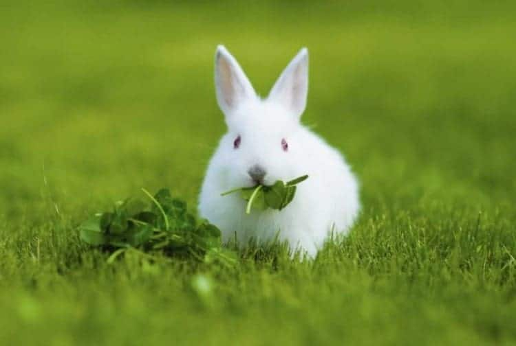 Rabbits eating spinach