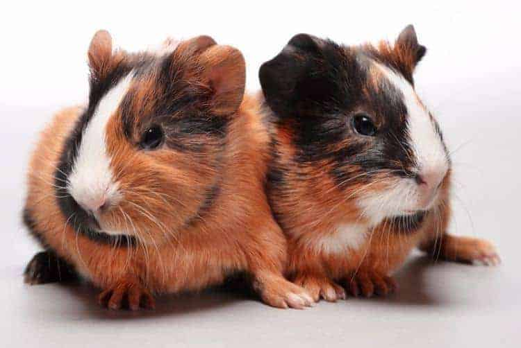 some groups of guinea pigs are more suited than others