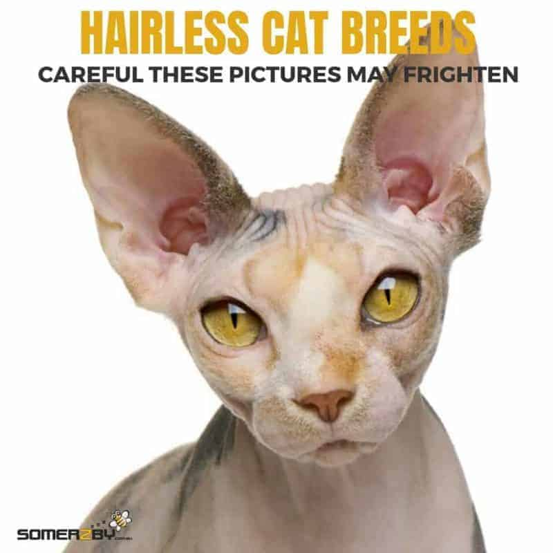 The Ultimate List of Hairless Cat Breeds