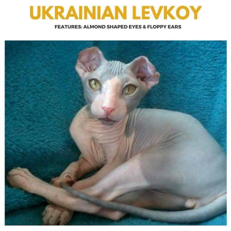 Ukrainian Levkoy