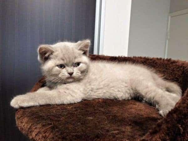 British Shorthair Breeder - Cuddleton Cats and Kittens