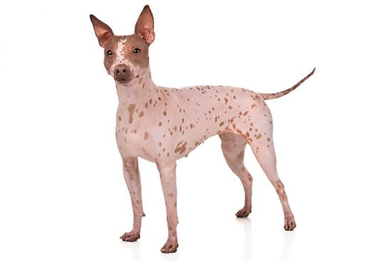 American Hairless Terrier Front view