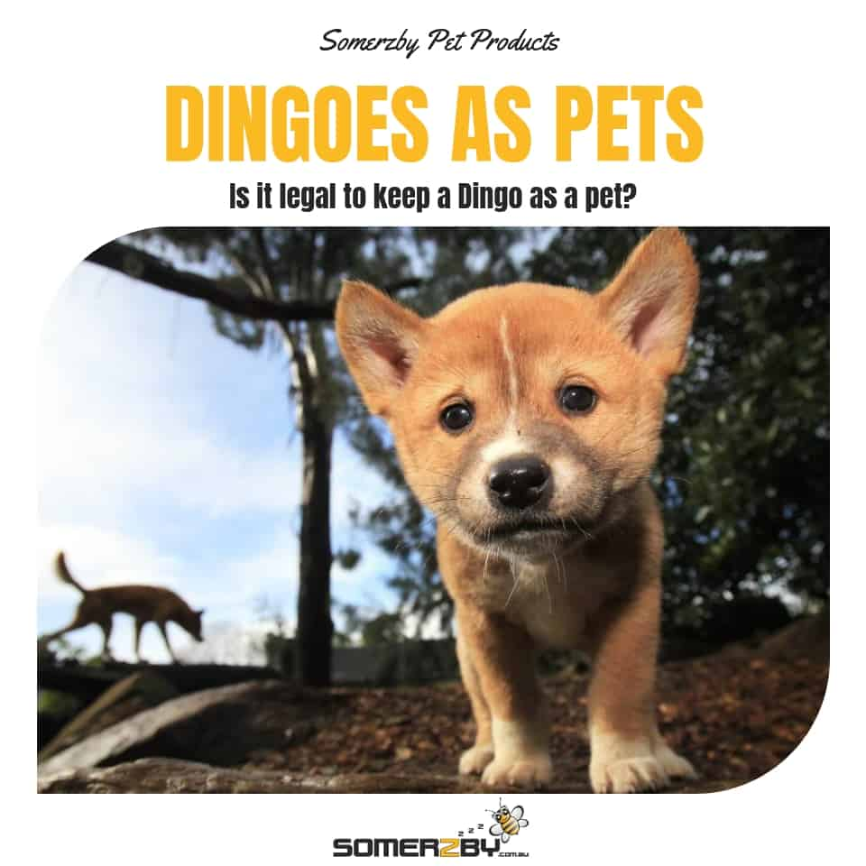 Dingoes As Pets Is It Legal To Keep A Dingo As A Pet