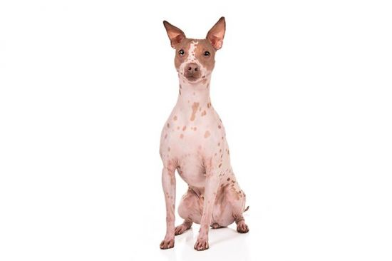 Hairless Terrier 2
