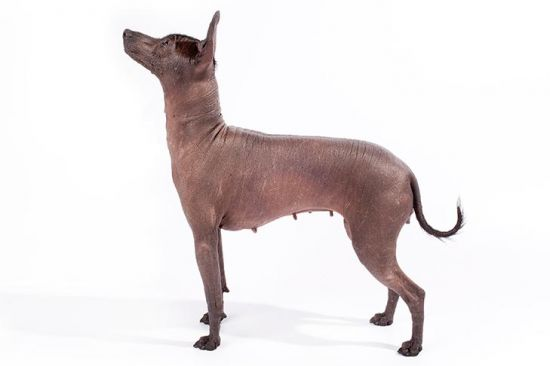 Mexican Hairless Dog side view