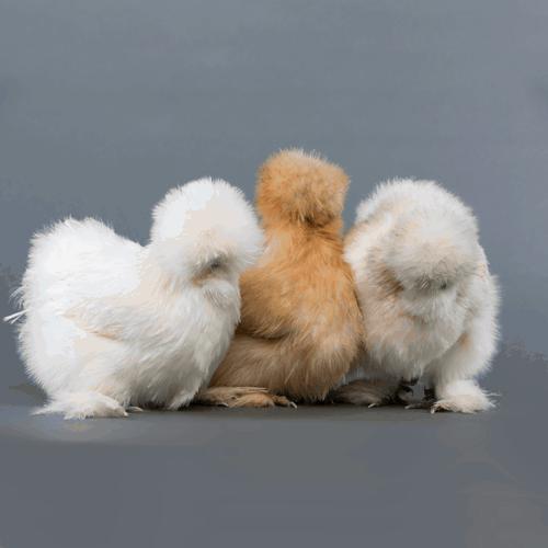 Baby Silkies Australia