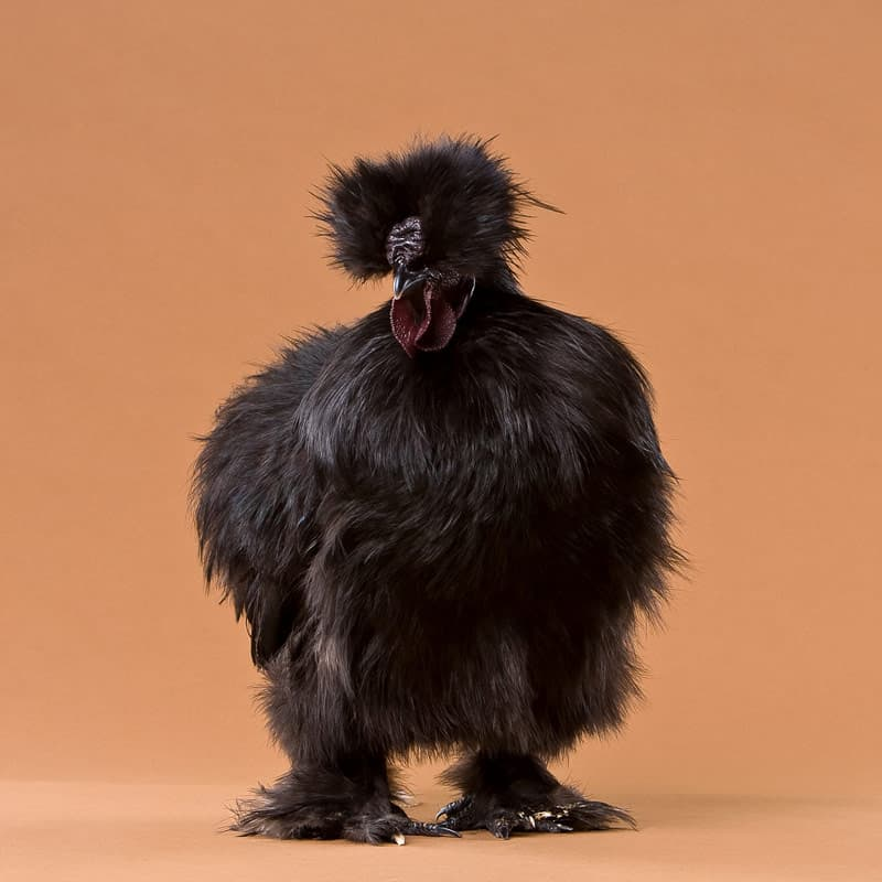 Black Silkie chicken breed