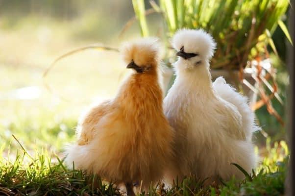 Silkie australia chickens breed