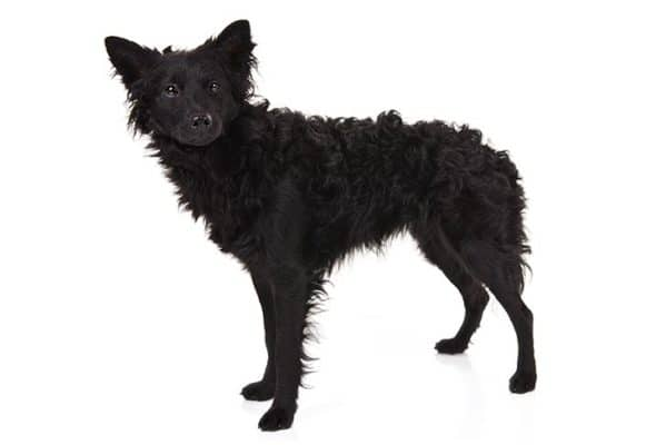 Mudi Dog Breed