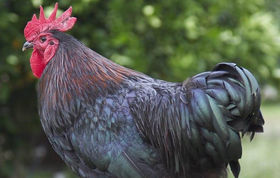 Australorp Chicken Breed