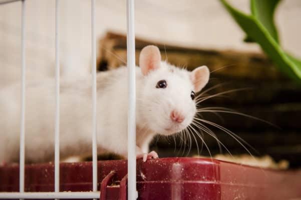Keeping Rats as Pets