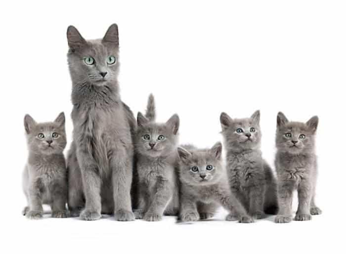 Russian Blue Cat Litter
