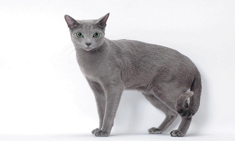 Russian Blue with a slight tail curl