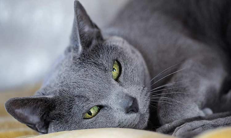 The Beautiful Russian Blue Cat Breed