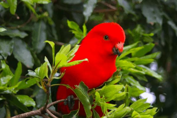 Australian King Parrot Blog