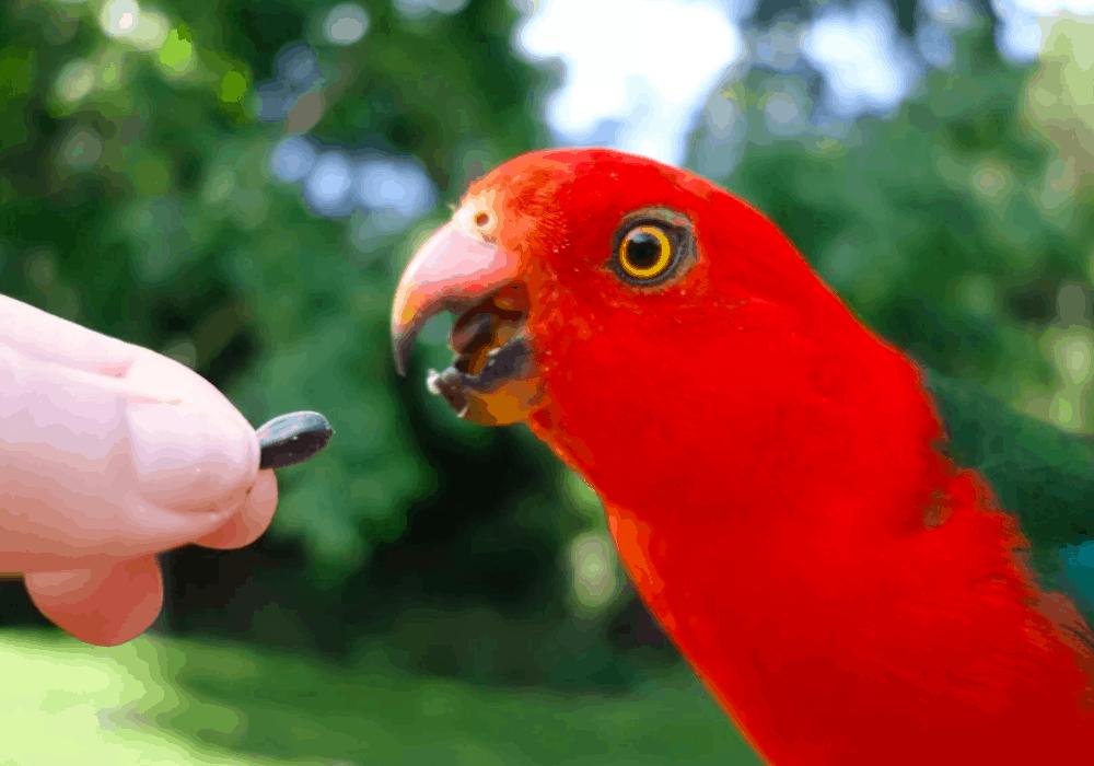 What Do King Parrots Eat?