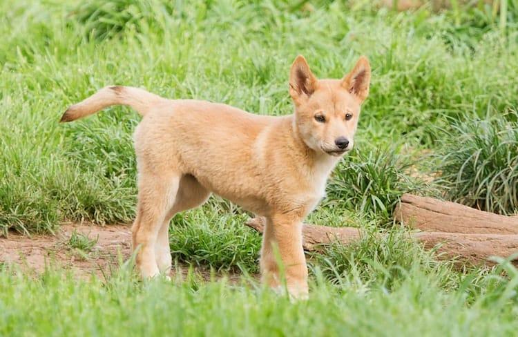 Australian Pet Dingos