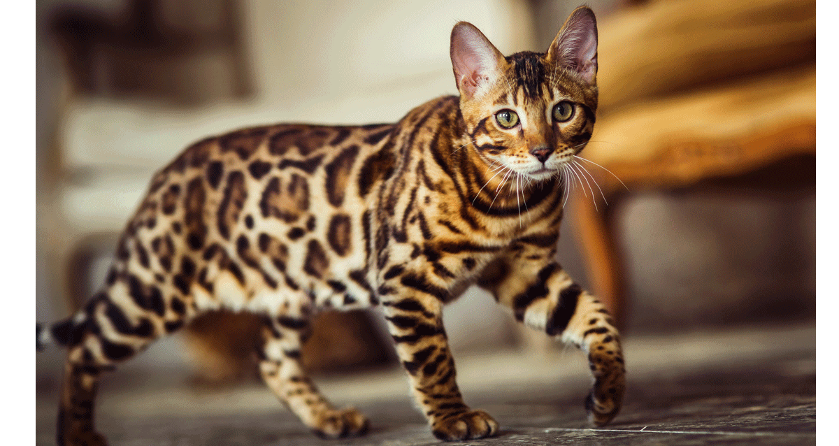 How much are Bengal Cats to buy