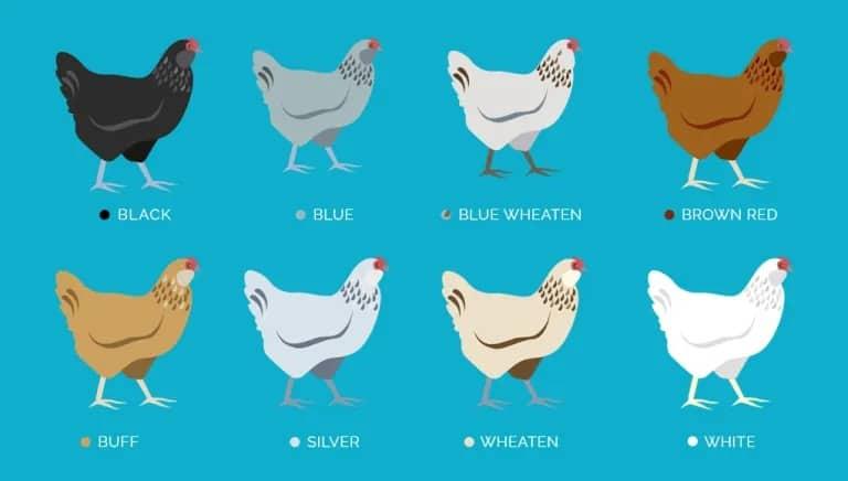 Ameraucana chickens come in eight colours